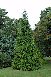 Green Giant Arborvitae (Thuja 'Green Giant') at Highland Avenue Greenhouse