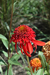 Cone-fections™ Hot Papaya Coneflower (Echinacea 'Hot Papaya') at Highland Avenue Greenhouse