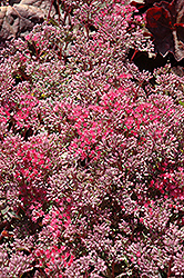 Rosy Glow Stonecrop (Sedum 'Rosy Glow') at Highland Avenue Greenhouse