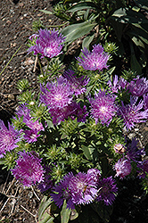 Peachie's Pick Aster (Stokesia laevis 'Peachie's Pick') at Highland Avenue Greenhouse