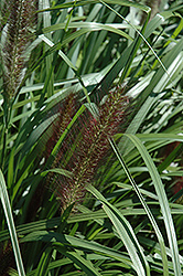 Red Head Fountain Grass (Pennisetum alopecuroides 'Red Head') at Highland Avenue Greenhouse