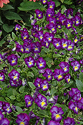 Halo Violet Pansy (Viola cornuta 'Halo Violet') at Highland Avenue Greenhouse