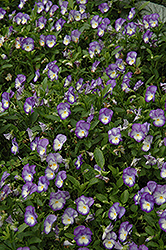 Halo Lilac Pansy (Viola cornuta 'Halo Lilac') at Highland Avenue Greenhouse