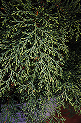 Celtic Pride™ Siberian Cypress (Microbiota decussata 'Prides') at Highland Avenue Greenhouse