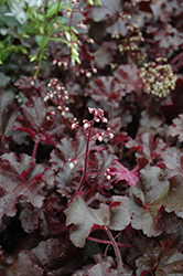 Melting Fire Coral Bells (Heuchera 'Melting Fire') at Highland Avenue Greenhouse