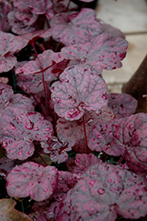 Grape Expectations Coral Bells (Heuchera 'Grape Expectations') at Highland Avenue Greenhouse