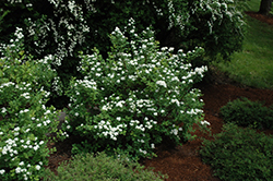 Tor Spirea (Spiraea betulifolia 'Tor') at Highland Avenue Greenhouse