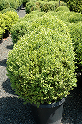 Green Mountain Boxwood (globe form) (Buxus 'Green Mountain (globe)') at Highland Avenue Greenhouse