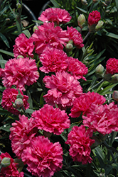 Early Bird™ Sherbet Pinks (Dianthus 'Wp08 Nik03') at Highland Avenue Greenhouse