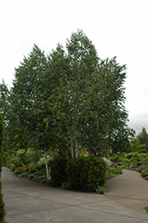 Whitebark Himalayan Birch (clump) (Betula utilis 'var. jacquemontii (clump)') at Highland Avenue Greenhouse