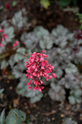 Rave On Coral Bells (Heuchera 'Rave On') at Highland Avenue Greenhouse