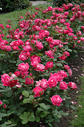 Double Knock Out® Rose (Rosa 'Radtko') at Highland Avenue Greenhouse