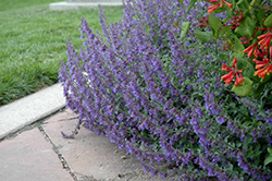 Six Hills Giant Catmint (Nepeta x faassenii 'Six Hills Giant') at Highland Avenue Greenhouse