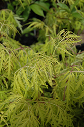 Lemony Lace® Elder (Sambucus racemosa 'SMNSRD4') at Highland Avenue Greenhouse