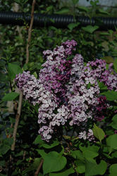 Declaration Lilac (Syringa 'Declaration') at Highland Avenue Greenhouse