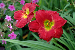 Happy Ever Appster® Red Hot Returns Daylily (Hemerocallis 'Red Hot Returns') at Highland Avenue Greenhouse