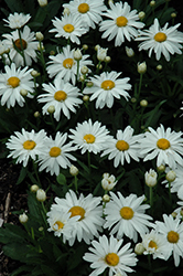 Whoops-A-Daisy Shasta Daisy (Leucanthemum x superbum 'Whoops-A-Daisy') at Highland Avenue Greenhouse