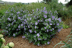 Blue Chiffon® Rose of Sharon (Hibiscus syriacus 'Notwoodthree') at Highland Avenue Greenhouse