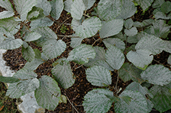 Blue Mist Fothergilla (Fothergilla gardenii 'Blue Mist') at Highland Avenue Greenhouse