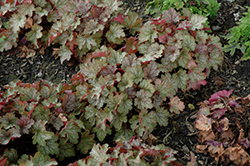 Carnival Fall Festival Coral Bells (Heuchera 'Fall Festival') at Highland Avenue Greenhouse