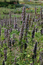 Black Adder Hyssop (Agastache 'Black Adder') at Highland Avenue Greenhouse