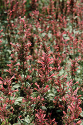 Kudos™ Coral Hyssop (Agastache 'Kudos Coral') at Highland Avenue Greenhouse