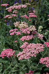 Song Siren Angie Yarrow (Achillea millefolium 'Song Siren Angie') at Highland Avenue Greenhouse