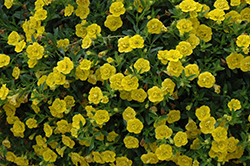 MiniFamous® Double Deep Yellow Calibrachoa (Calibrachoa 'MiniFamous Double Deep Yellow') at Highland Avenue Greenhouse