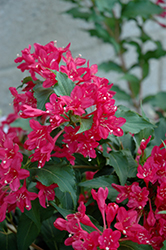 Sonic Bloom Red® Reblooming Weigela (Weigela florida 'Verweig 6') at Highland Avenue Greenhouse