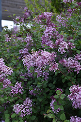 Bloomerang® Lilac (Syringa 'Bloomerang') at Highland Avenue Greenhouse