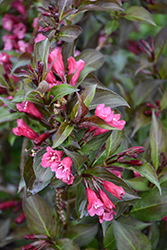 Shining Sensation™ Weigela (Weigela florida 'Bokrashine') at Highland Avenue Greenhouse