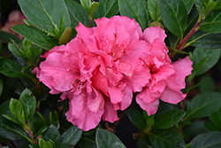 Bloom-A-Thon® Pink Double Azalea (Rhododendron 'RLH1-2P8') at Highland Avenue Greenhouse