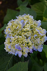Nantucket Blue Hydrangea (Hydrangea macrophylla 'Grenan') at Highland Avenue Greenhouse