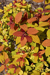 Double Play Big Bang® Spirea (Spiraea 'Tracy') at Highland Avenue Greenhouse