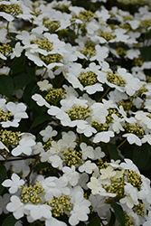 Doublefile Viburnum (Viburnum plicatum 'var. tomentosum') at Highland Avenue Greenhouse