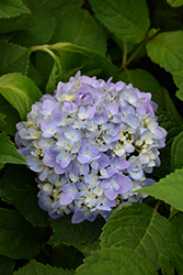 Let's Dance® Moonlight Hydrangea (Hydrangea macrophylla 'Robert') at Highland Avenue Greenhouse