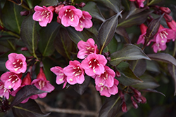 Wine and Roses® Weigela (Weigela florida 'Alexandra') at Highland Avenue Greenhouse