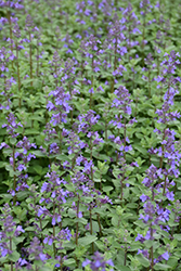 Blue Wonder Catmint (Nepeta x faassenii 'Blue Wonder') at Highland Avenue Greenhouse