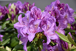 Boursault Rhododendron (Rhododendron catawbiense 'Boursault') at Highland Avenue Greenhouse