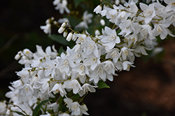 Slender Deutzia (Deutzia gracilis) at Highland Avenue Greenhouse