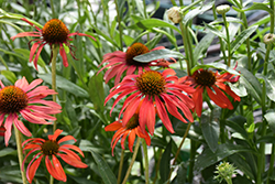 Tomato Soup Coneflower (Echinacea 'Tomato Soup') at Highland Avenue Greenhouse