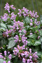 Pink Chablis® Spotted Dead Nettle (Lamium maculatum 'Checkin') at Highland Avenue Greenhouse