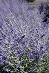 Crazy Blue Russian Sage (Perovskia atriplicifolia 'Crazy Blue') at Highland Avenue Greenhouse