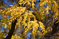 Shademaster Honeylocust (Gleditsia triacanthos 'Shademaster') at Highland Avenue Greenhouse