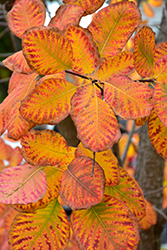 American Smoketree (Cotinus obovatus) at Highland Avenue Greenhouse