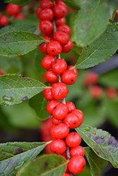 Red Sprite Winterberry (Ilex verticillata 'Red Sprite') at Highland Avenue Greenhouse