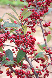 Brilliantissima Red Chokeberry (Aronia arbutifolia 'Brilliantissima') at Highland Avenue Greenhouse