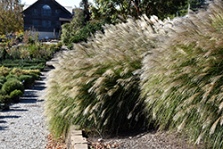 Gracillimus Maiden Grass (Miscanthus sinensis 'Gracillimus') at Highland Avenue Greenhouse