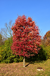 Autumn Flame Red Maple (Acer rubrum 'Autumn Flame') at Highland Avenue Greenhouse