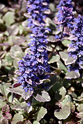 Burgundy Glow Bugleweed (Ajuga reptans 'Burgundy Glow') at Highland Avenue Greenhouse
